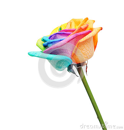Rainbow rose flower and multi colors petals stock photo for Multi colored rose petals