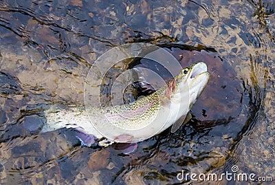 Rainbow trout caught on bait
