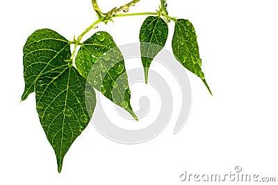 Raindrop  on green leaves