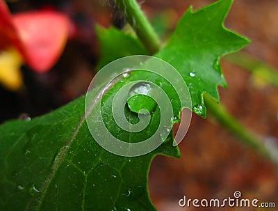 Raindrop on hibiscus leaf