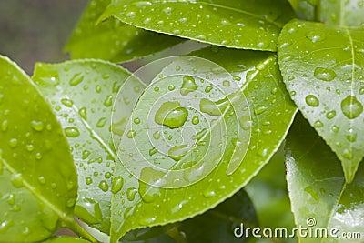 Raindrops on Camellia Leaves
