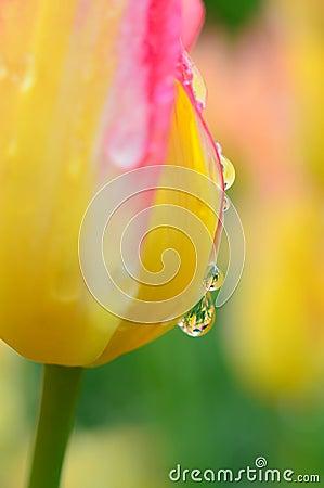 Free Raindrops Closeup On Tulip Royalty Free Stock Photo - 125905395