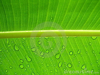 Raindrops on a leaf