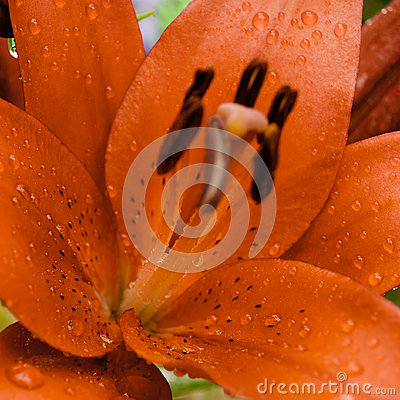 Raindrops on lily