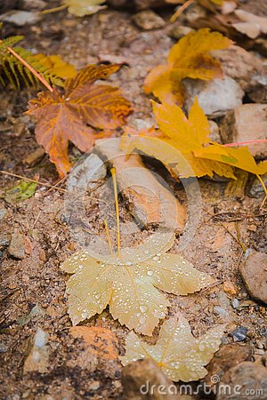 Free Raindrops On Fallen Maple Leaf Royalty Free Stock Photo - 127487355