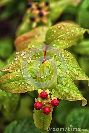 Free Raindrops On St John`s Wort Leaves After Summer Shower. Stock Images - 127019464