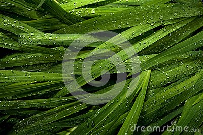 Raindrops on ornamental grass