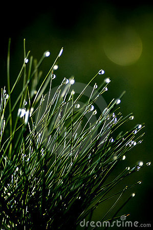 Raindrops on small pine bush
