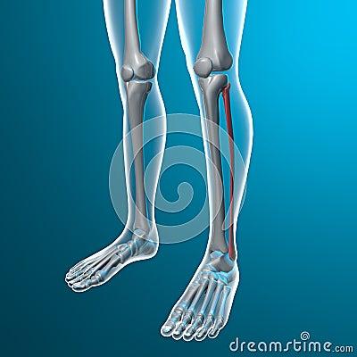 Raio X dos pés humanos, osso fibular