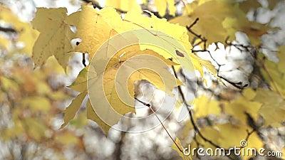 Raios do sol através da folha do outono filme