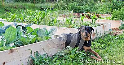 Raised Garden With Rottweiler