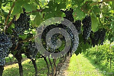 Raisins de cuve
