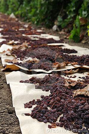Raisins drying in field on paper