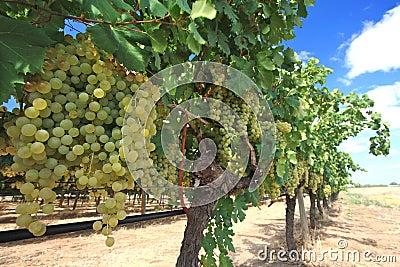 Raisins en cour de vin