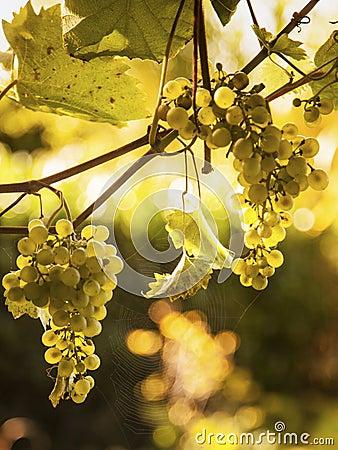 raisins sur la toile de vigne et d 39 araign e au soleil photo stock image 61467789. Black Bedroom Furniture Sets. Home Design Ideas