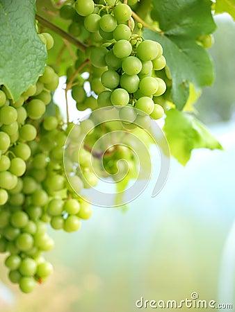 Raisins sur la verticale de vigne