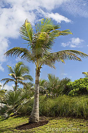 Rajów palmowi drzewa