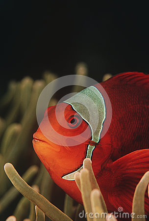 Raja Ampat Indonesia Pacific Ocean spinecheek anemonefish (Premnas biaculeatus) close-up