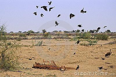 Rajasthan camel carcass