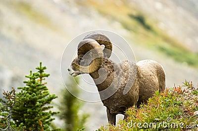 Ram big horn sheep