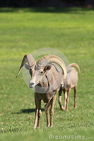 RAM de Bighorn de désert