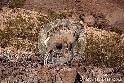 Ram desert big horn sheep