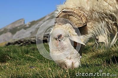 Ram grazing