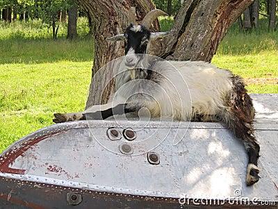 Ram lie on boat