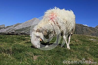 Ram in Pyrenees