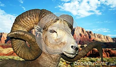 A Ram at the Vermilion Cliffs