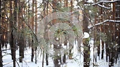 Rama de abeto en el bosque y el viento almacen de video