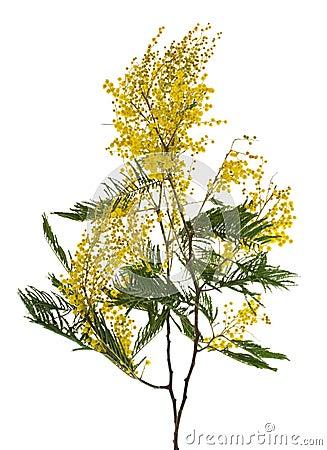 Ramificación del mimosa del primer
