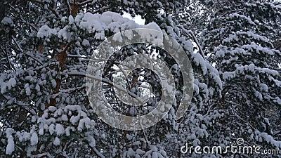 Ramificaciones del pino cubiertas con nieve almacen de metraje de vídeo