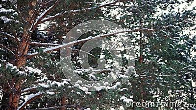 Ramificaciones del pino en la nieve almacen de metraje de vídeo