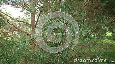 Ramificaciones verdes del pino Ramas verdes del árbol o del pino de abeto metrajes