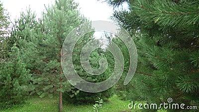 Ramificaciones verdes del pino Ramas verdes del árbol o del pino de abeto almacen de video