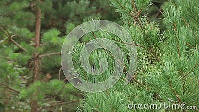 Ramificaciones verdes del pino Ramas verdes del árbol o del pino de abeto almacen de metraje de vídeo