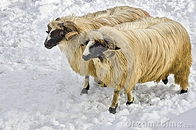 Rams in the snow