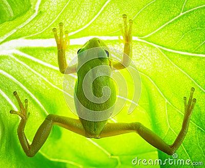 Rana arbórea verde en la hoja