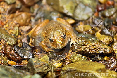 Rana Pileata,mountain frog,rare species in nature