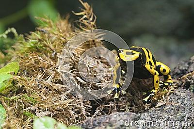 Rana venenosa tropical negra y amarilla