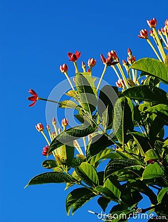 Rangoon creeper flowers