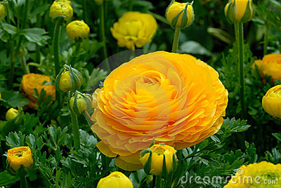 Ranunculus blossom and buds