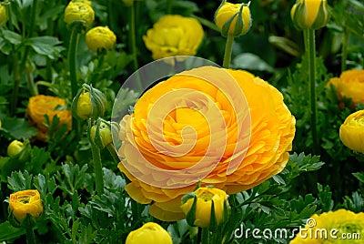 Ranunculus blossom and buds