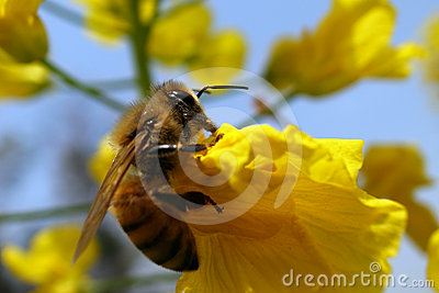 Rape and bee