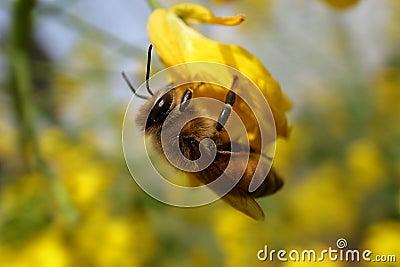 Rape and bee