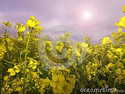 Rape Crop Summer Meadow