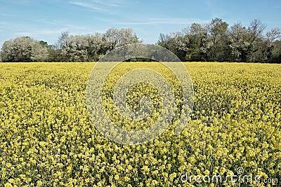 Rape field in bloom