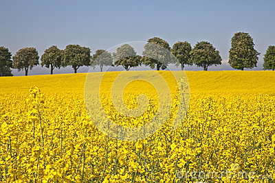 Rape field in Denmark.