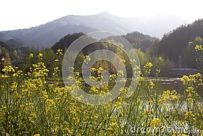 Rape field and lake